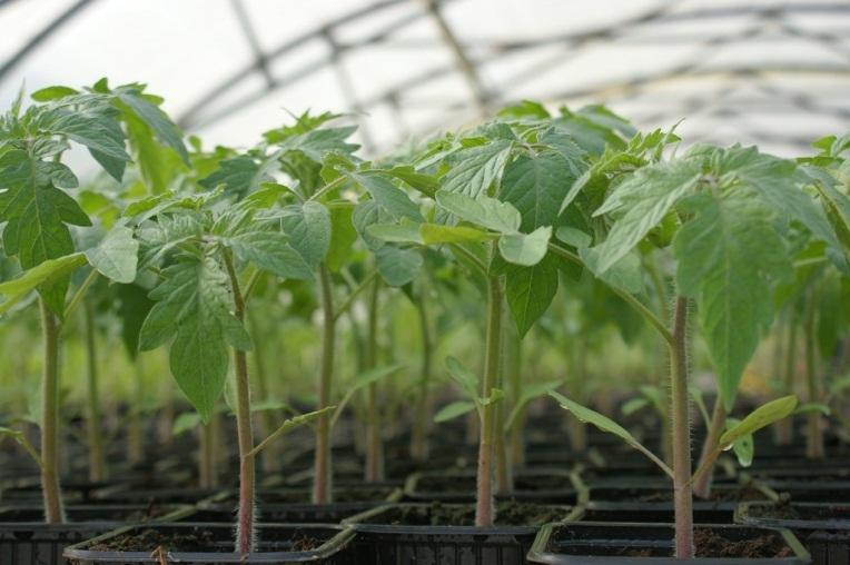 plants_de_tomates